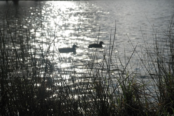 canards au lac de Vincennes